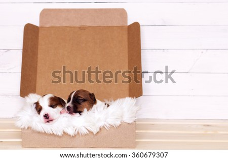 Two cute Jack Russell Terrier puppies sleeping in a gift box - stock photo
