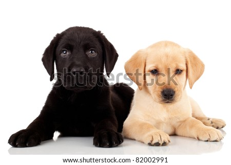 two cute labrador puppies - both very curious and looking at the camera - stock photo