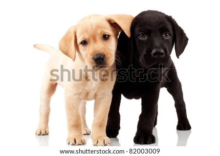 two cute labrador puppies - both very curious , standing and looking at something - stock photo