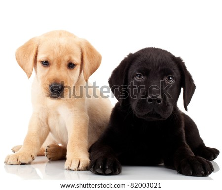 two cute labrador puppies - both very sad , looking at the camera - stock photo