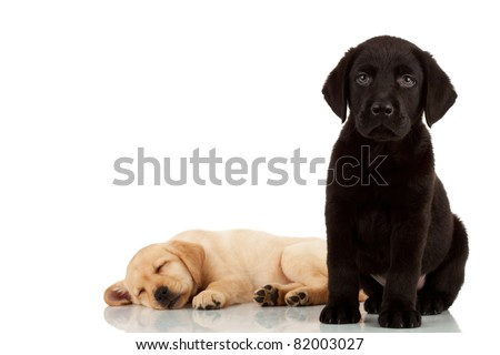 two cute labrador puppies - one looking at the camera and one sleeping in the back - stock photo