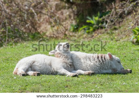 two cute lambs sunbathing in springtime sunshine - stock photo