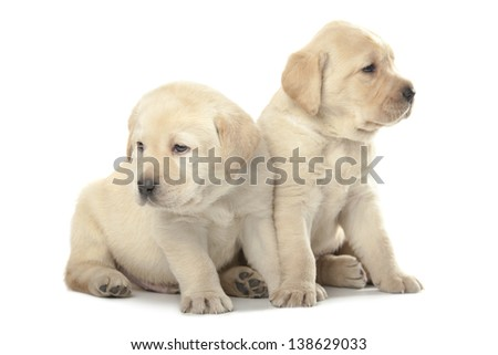 two cute little Labrador puppies isolated over white background - stock photo