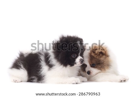 two cute little spitz puppies closeup - stock photo