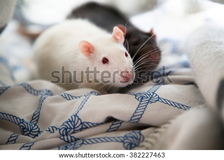 Two cute pet rats resting in a blanket - stock photo
