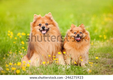 two cute pomeranian dog sitting in summer - stock photo