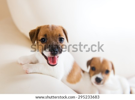Two cute puppies playing on a white sofa - stock photo