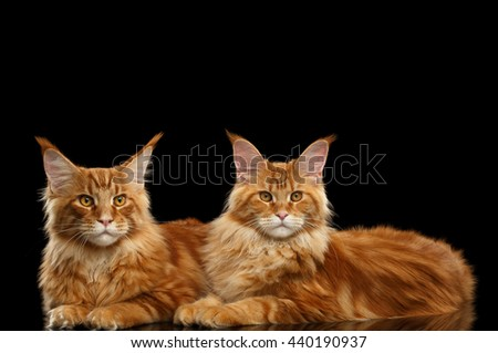 Two Cute Red Maine Coon Cats Lying and Looks in Camera Isolated on Black Background, Side view - stock photo