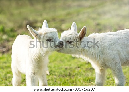 Two cute six days old kid on the green grass. One another tenderly kisses. Selective focus image/ - stock photo