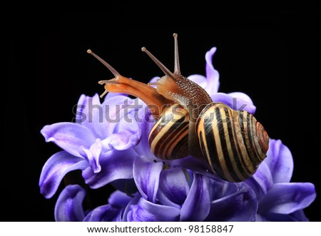 two cute snails on blue hyacinth isolated on black background - stock photo