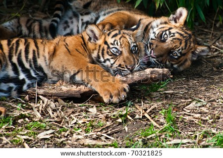 Two cute  sumatran tiger cubs playing on the forest floor - stock photo
