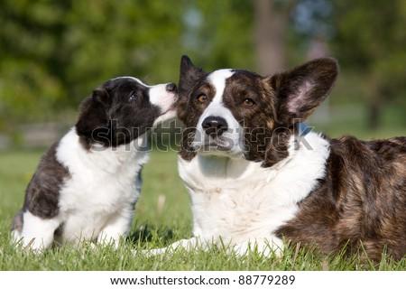 Two cute welsh corgi cardigan posing - stock photo