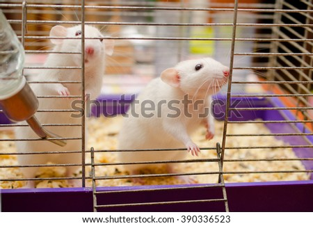 Two cute white rats standing on their hind legs - stock photo