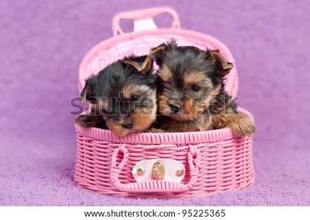 Two cute yorkshire terrier puppies in a pink basket, on purple background - stock photo