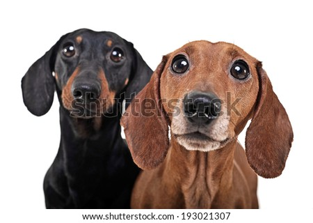 Two Dachshunds watching in the white studio  - stock photo