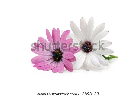 Two daisies isolated on white - stock photo