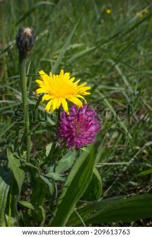 Two dandelion flowers on a sunny and lush green meadow at the shore of a small river near Freiburg, Germany - stock photo