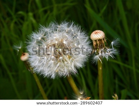 Two dandelion. One with a feather, the other without fluff on a grass background - stock photo