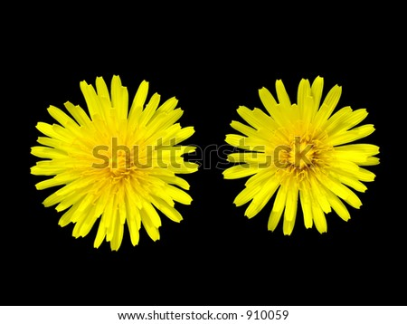 Two dandelions over black - stock photo