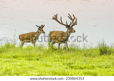 Two deer in the wet meadow - stock photo