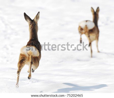 Two deers running on snow - stock photo