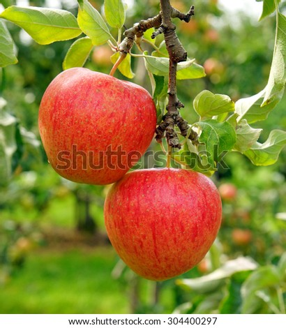 Two delicious red apples in the summer garden - stock photo