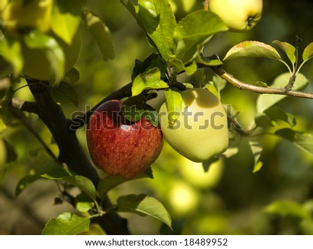 Two different colour apples hang on a tree - stock photo