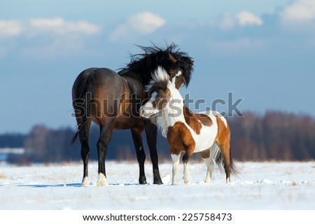 Two different horses sniffing each other outdoor in snow field in wintertime. - stock photo