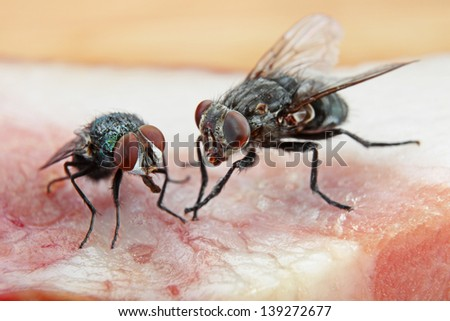 Two Dirty House Flies on a piece of red meat - stock photo