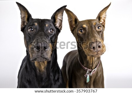 Two Doberman dogs looking at the camera - stock photo
