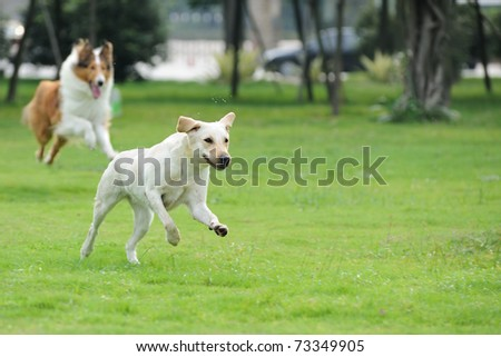 Two dog running and chasing on the lawn - stock photo