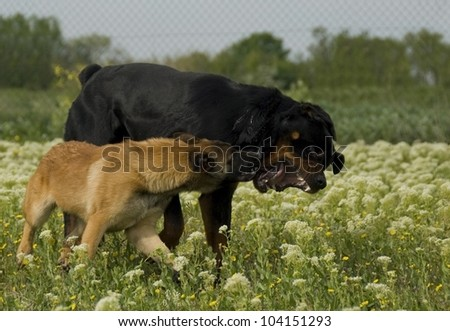two dogs, a purebred rottweiler and a young belgian shepherd malinois biting - stock photo
