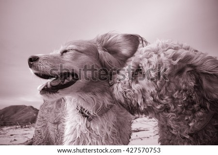 two dogs at a beach being romantic - cavoodle dog whispering sweet nothings in the air of a collie dog  - stock photo