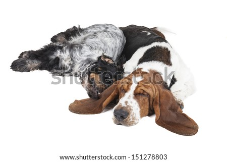two dogs (Basset hound and English Cocker Spaniel) on a white background - stock photo