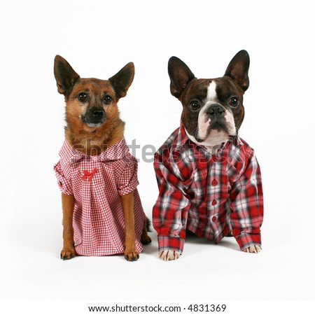two dogs dressed up like a couple - stock photo