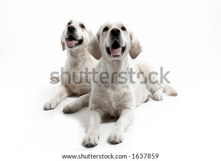 two dogs in studio - stock photo