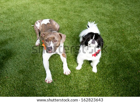 Two Dogs Large and Small Laying on Green Lush Grass Waiting for Treats - stock photo