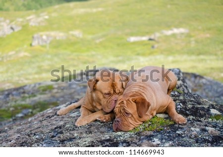 Two dogs lying on stones in the mountains, Norway - stock photo