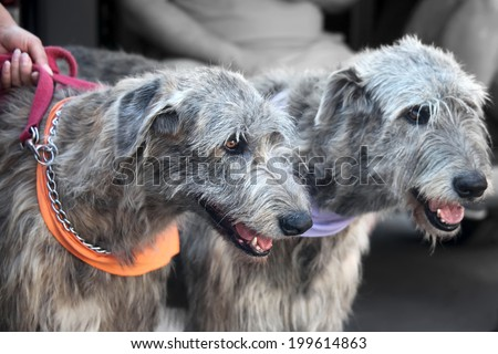 Two dogs of breed Irish wolfhound - stock photo