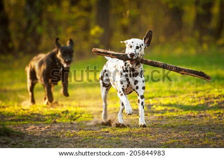 Two dogs playing in the evening - stock photo
