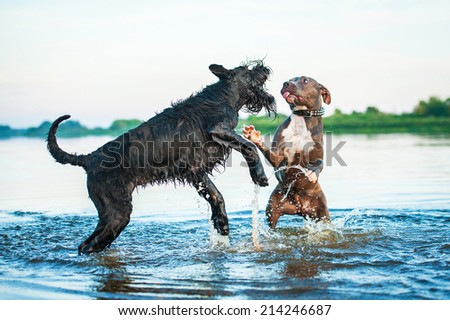 Two dogs playing in the water - stock photo