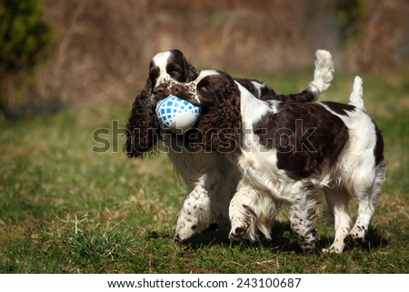 Two dogs playing with a ball - stock photo