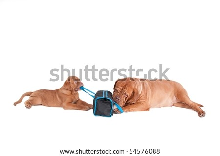 Two dogs playing with a travel bag - stock photo