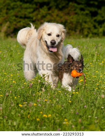 Two Dogs playing with an orange ball - stock photo