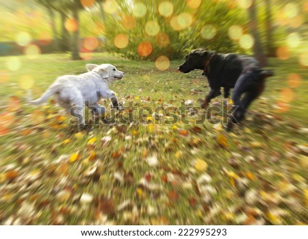 Two dogs running in autumn fall park  - stock photo
