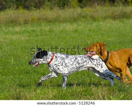 Two dogs running in grassy area. - stock photo