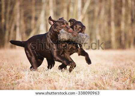 two dogs running together - stock photo