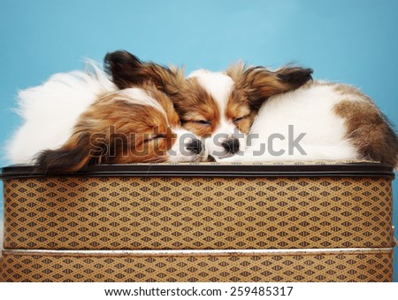 Two dogs sleeping glomeruli on a suitcase  - stock photo