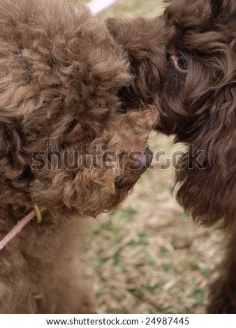 Two dogs whispering. - stock photo