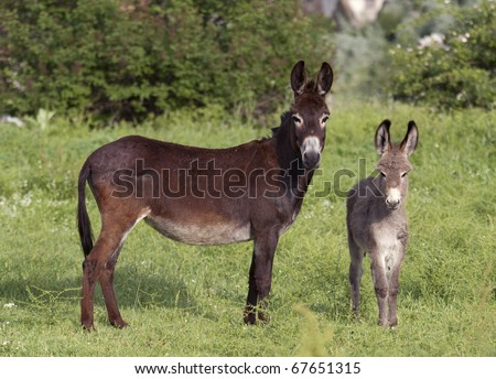 Two donkeys, mother and a cub standing in green surrounding looking at the camera. - stock photo